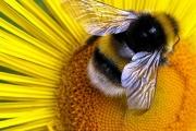 Пчёл убивает ГМО