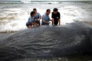 Гибель китов - загадка для ученых
