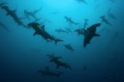 Жить стало веселее: обнаружены 79 новых видов акул