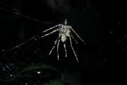 Ученые отыскали пауков, способных создавать себе марионеток