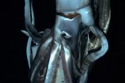 Ученые впервые сняли на видео гигантского кальмара