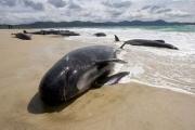 Ученые выяснили, почему киты выбрасываются на берег