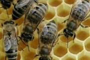 ООН подтверждает: гибель пчел – глобальный феномен