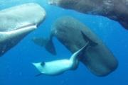 Необычная дружба: кашалоты приняли в свою группу дельфина