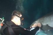 Дельфин попросил дайвера о помощи + ВИДЕО