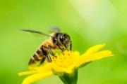 2013 станет худшим для пчеловодов США, популяция насекомых рекордно сокращается