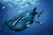 The whale shark is the largest fish in the world.