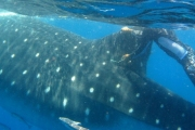 Китовая акула - самая большая рыба в мире.